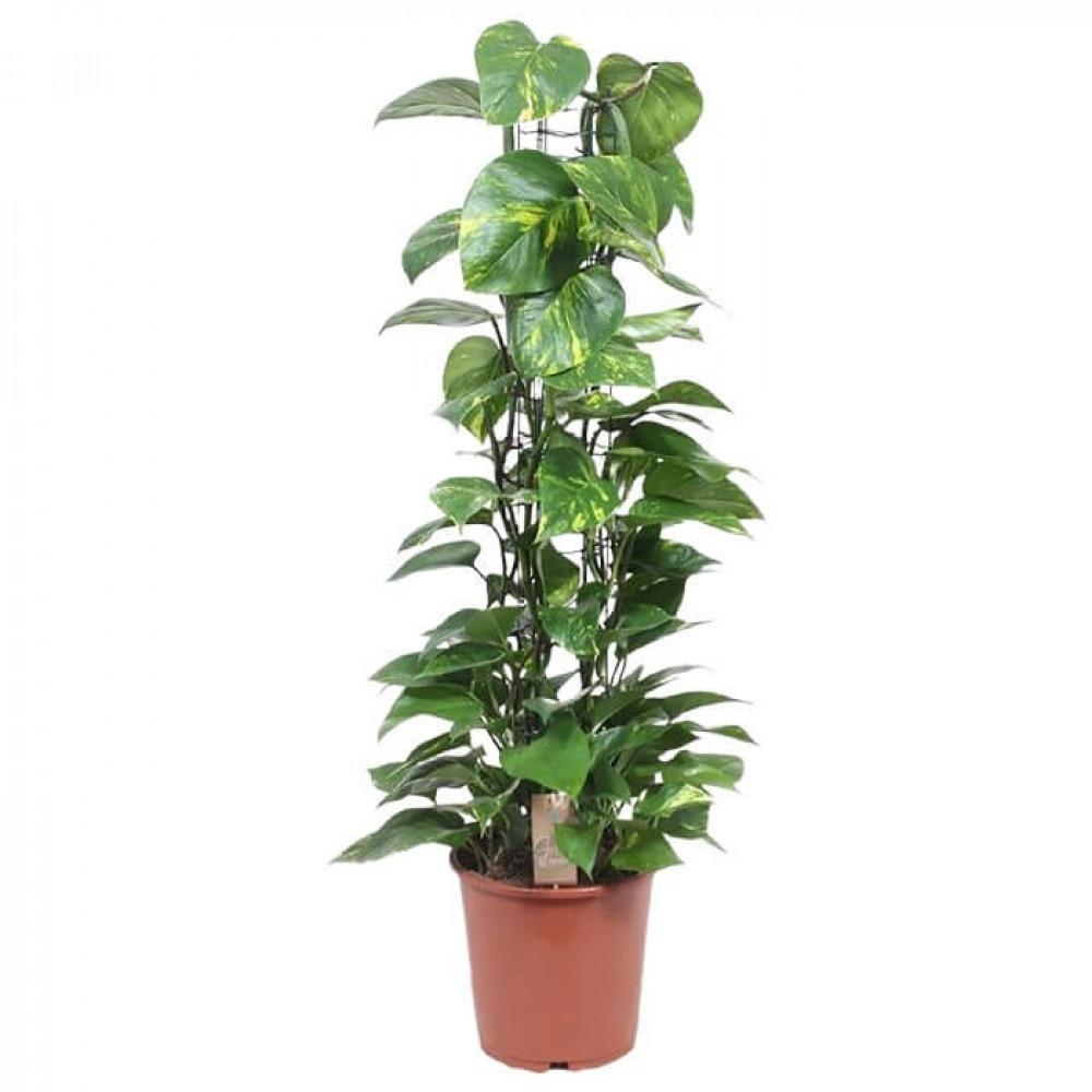 نباتات داخليه بوتس - سكيندابسوس  Scindapsus