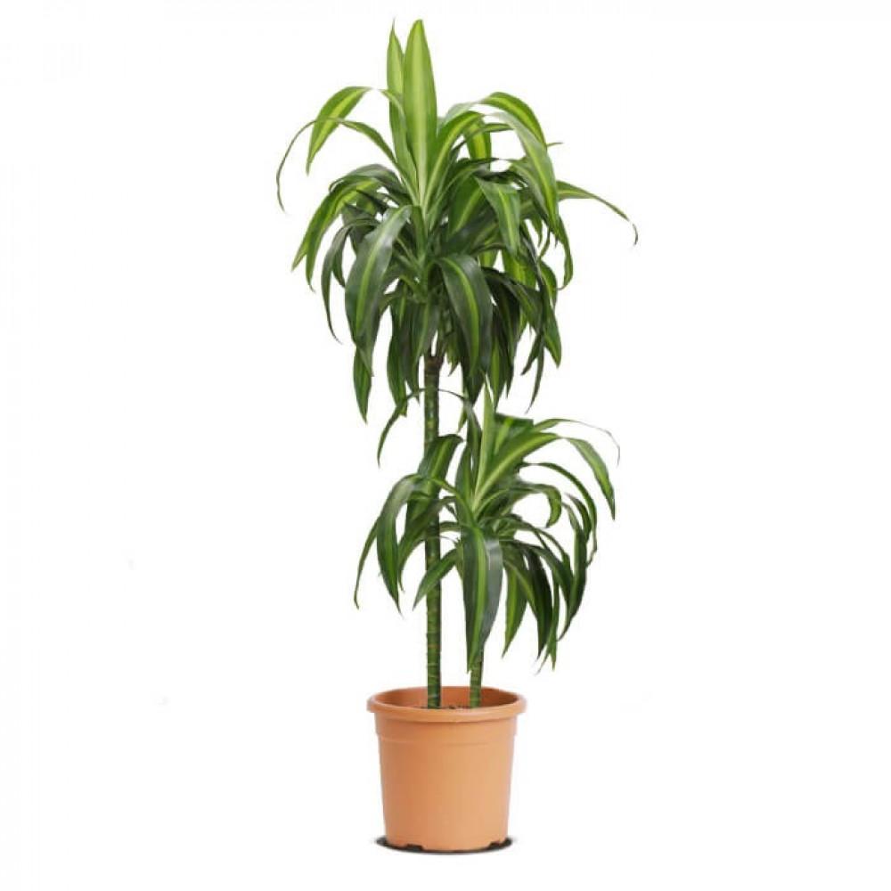 نباتات داخليه دراسينا سن شاين Dracaena Sunshine