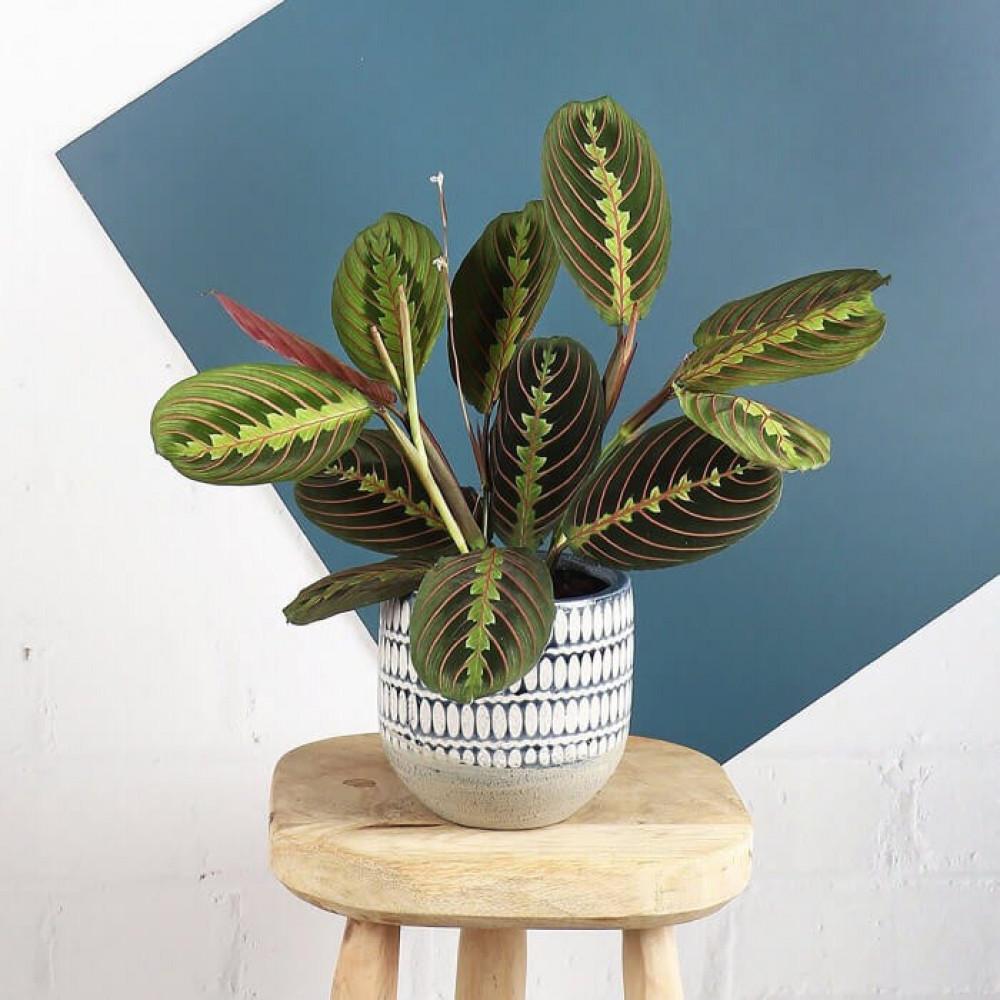 نباتات داخليه مارنتا Maranta Plant