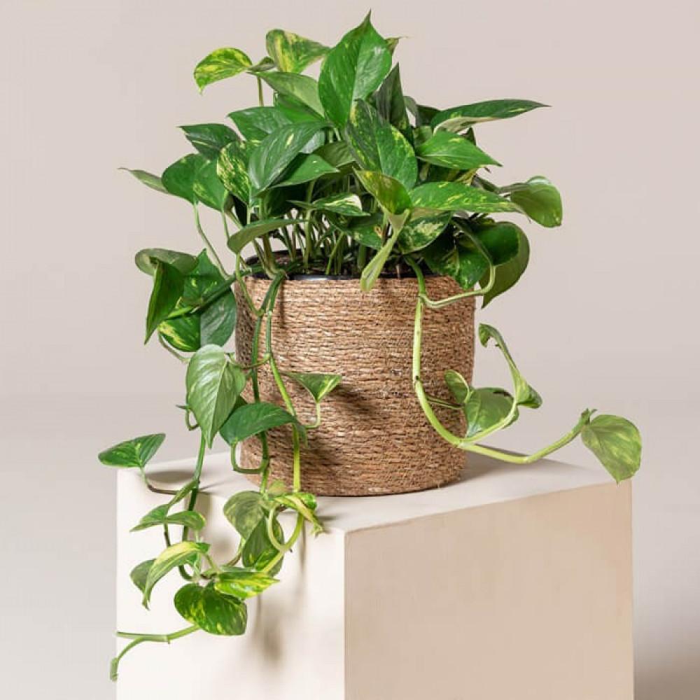 نباتات داخليه بوتس معلق - سكيندابسوس  Hanger Scindapsus