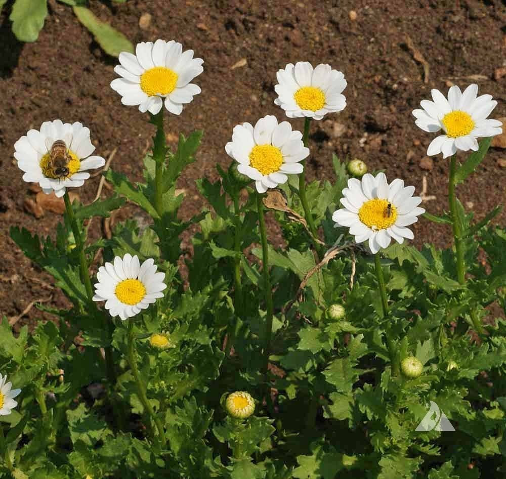 بذور اقحوان المروج-  Chrysanthemum Paludosum