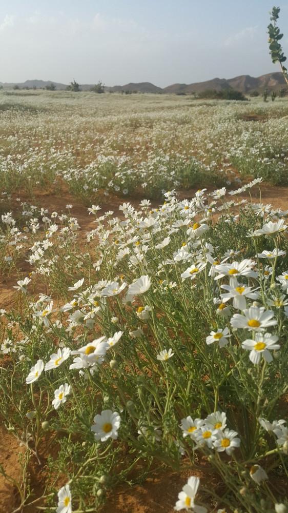 بذور الاقحوان البري  القحويان  -  Anthemis Deserti
