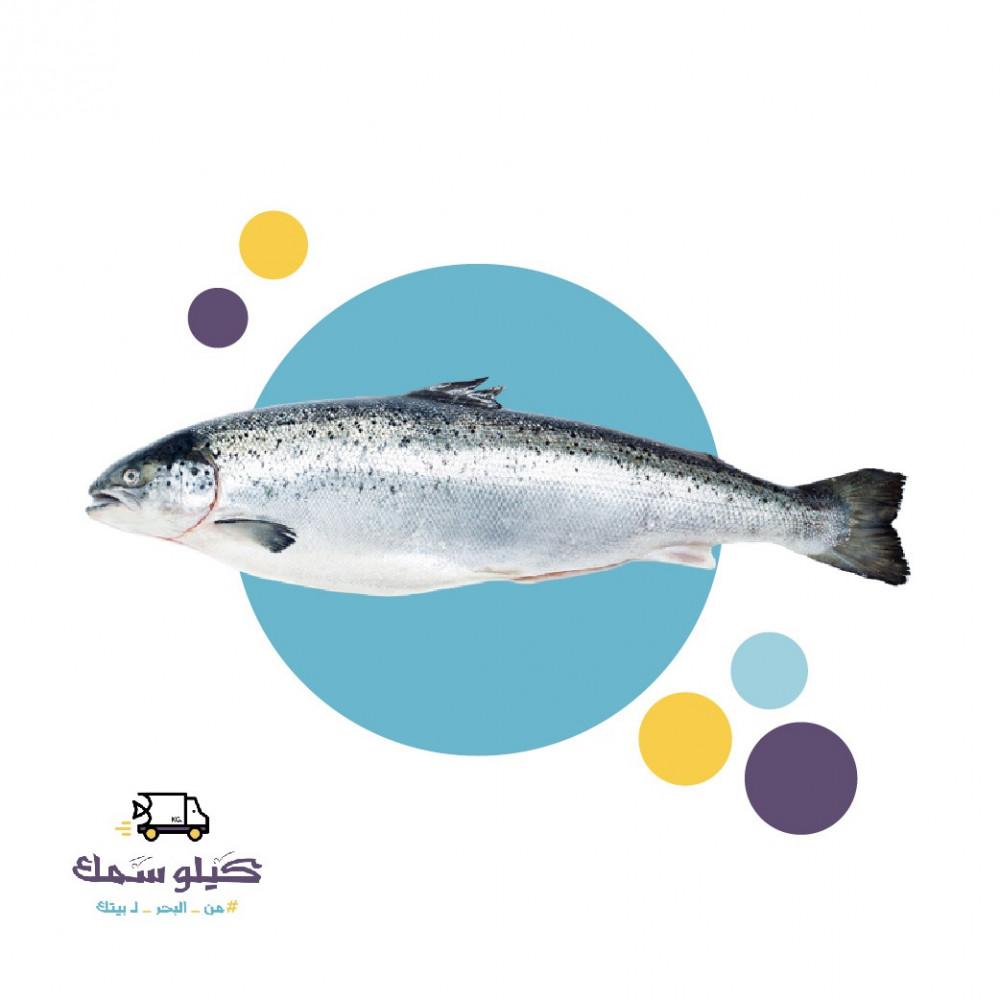 سمك سالمون كبير-Salmon L