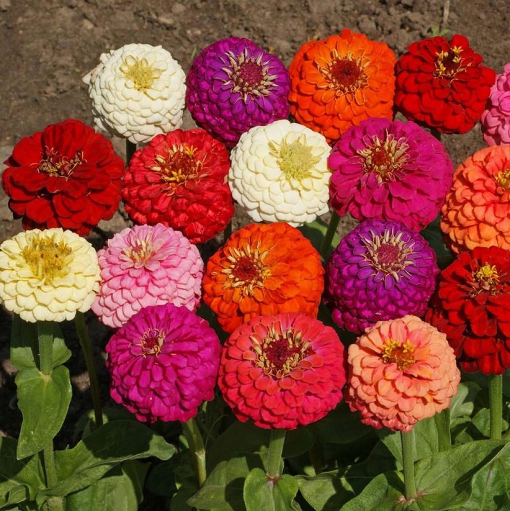 زهور زينيا
