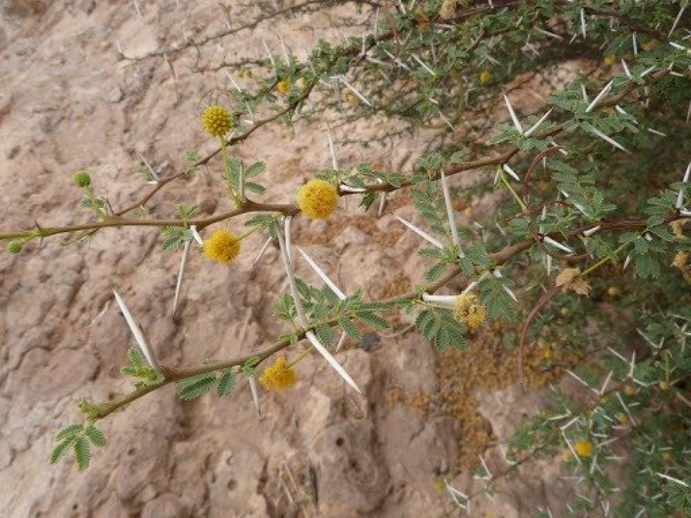 زهرة شجرة السلم