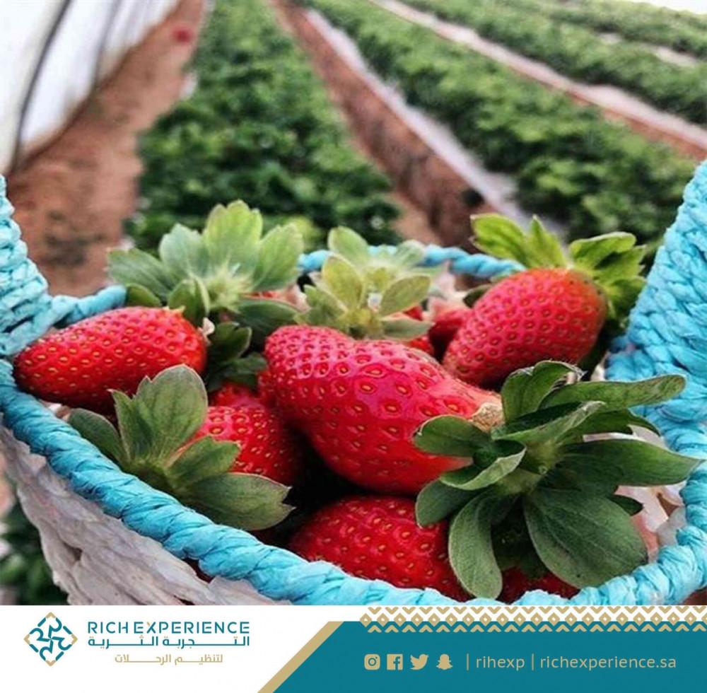 مزرعة الفراولة