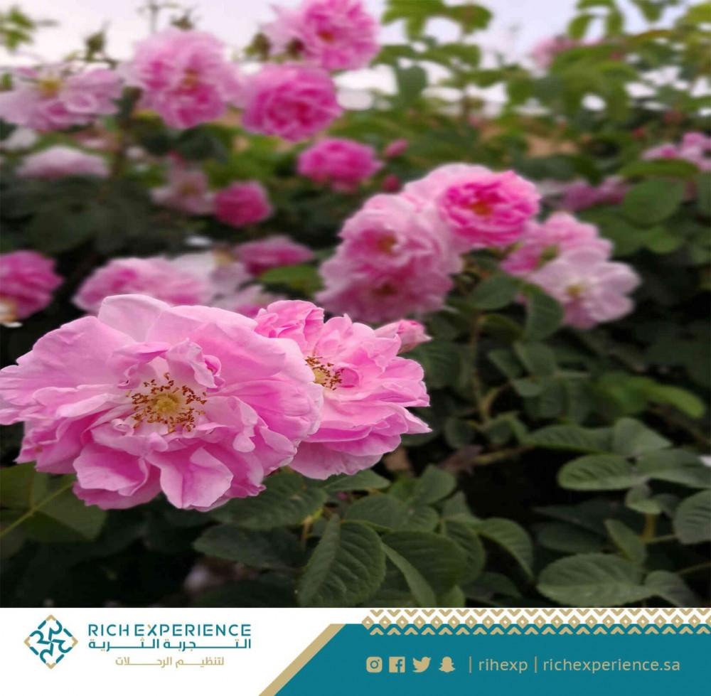 تصوير الورد الطائفي