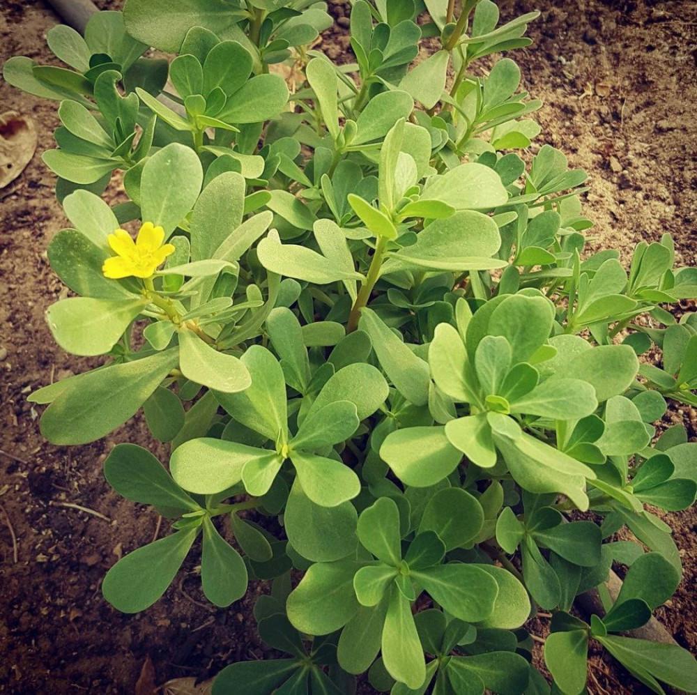 بذور الرجلة أو البقلة - Portulaca oleracea