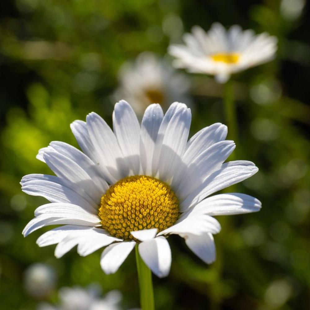 زهور البكرت