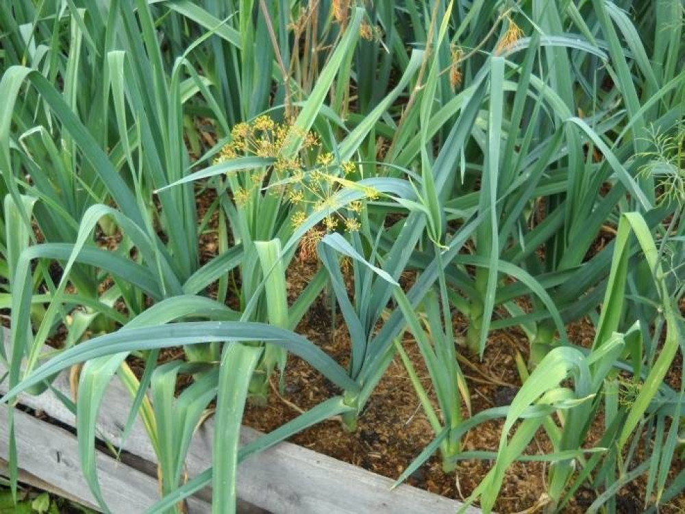 بذور الكراث - Allium ampeloprasum