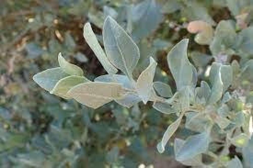 بذور عشبة القطف البري  -  Atriplex halimus