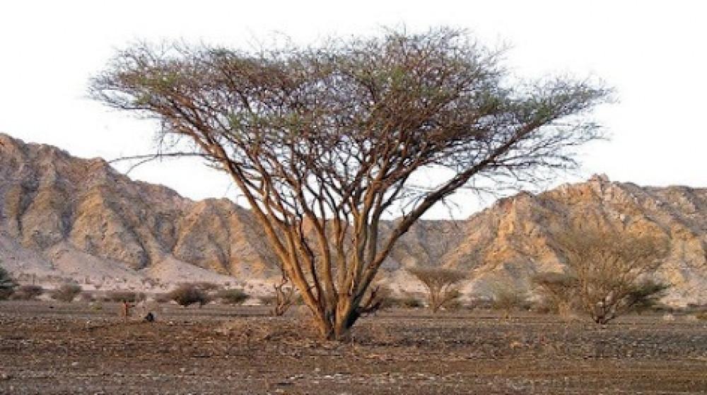 شجرة السمر,أكاسيا تورتيليس عسل أصلي,عروض العسل,عسل بيور,