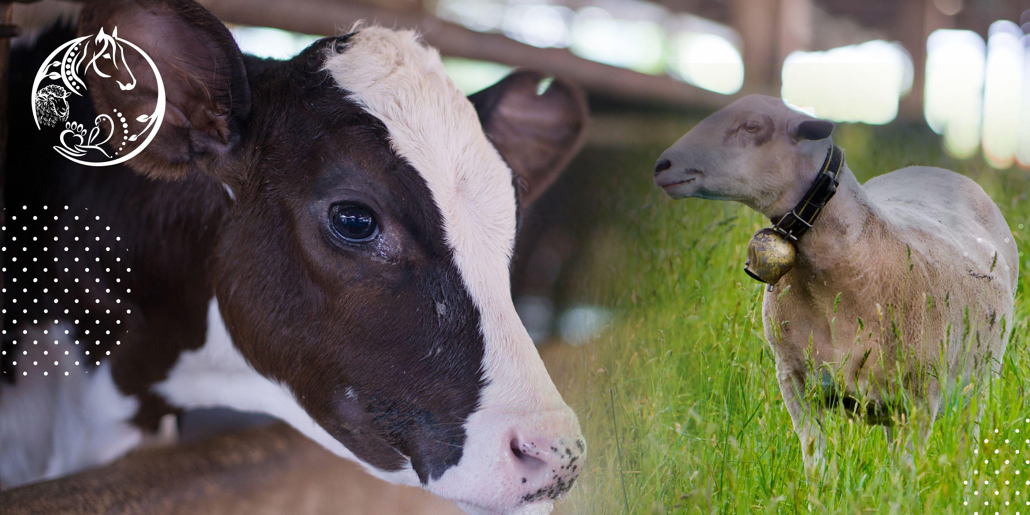 منتجات إبل، أبقار، ماعز