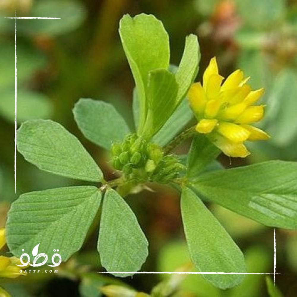 بذور عشبة النفل البري   Trifolium