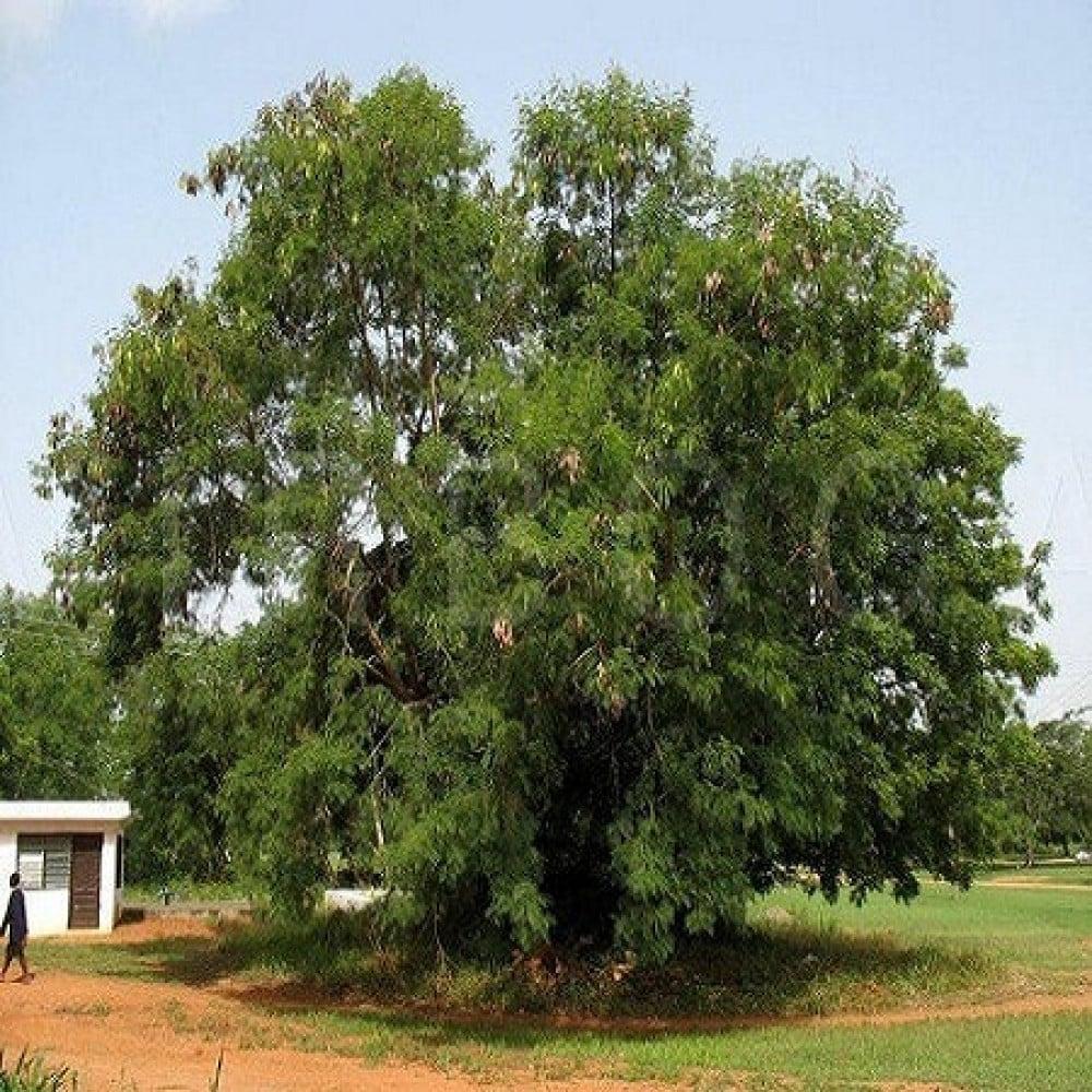 شجرة أكاسيا ليوسينا أو السيسبان - Leucaena leucocephala