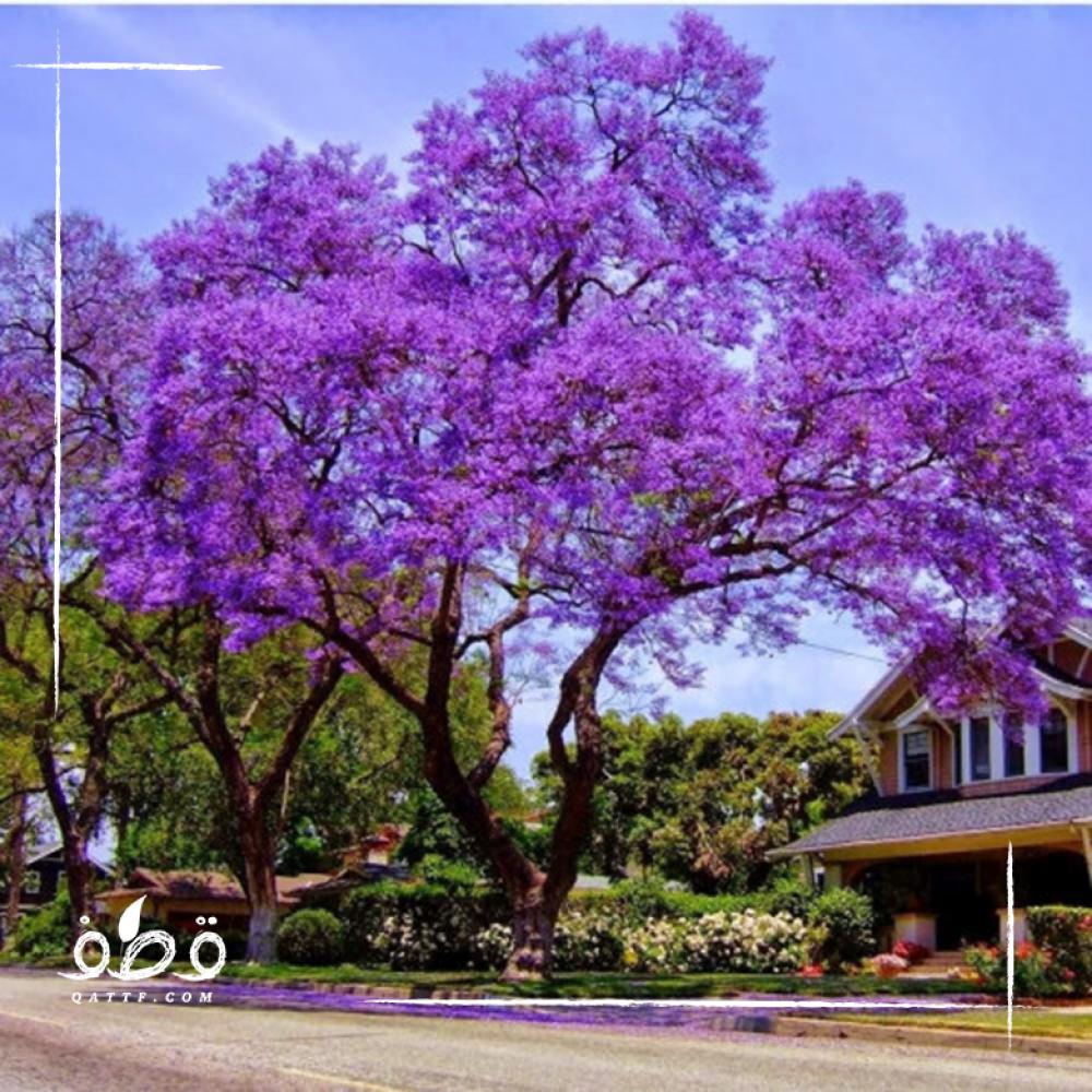 بذور جاكرندا ميموزا - Jacaranda Mimosifolia