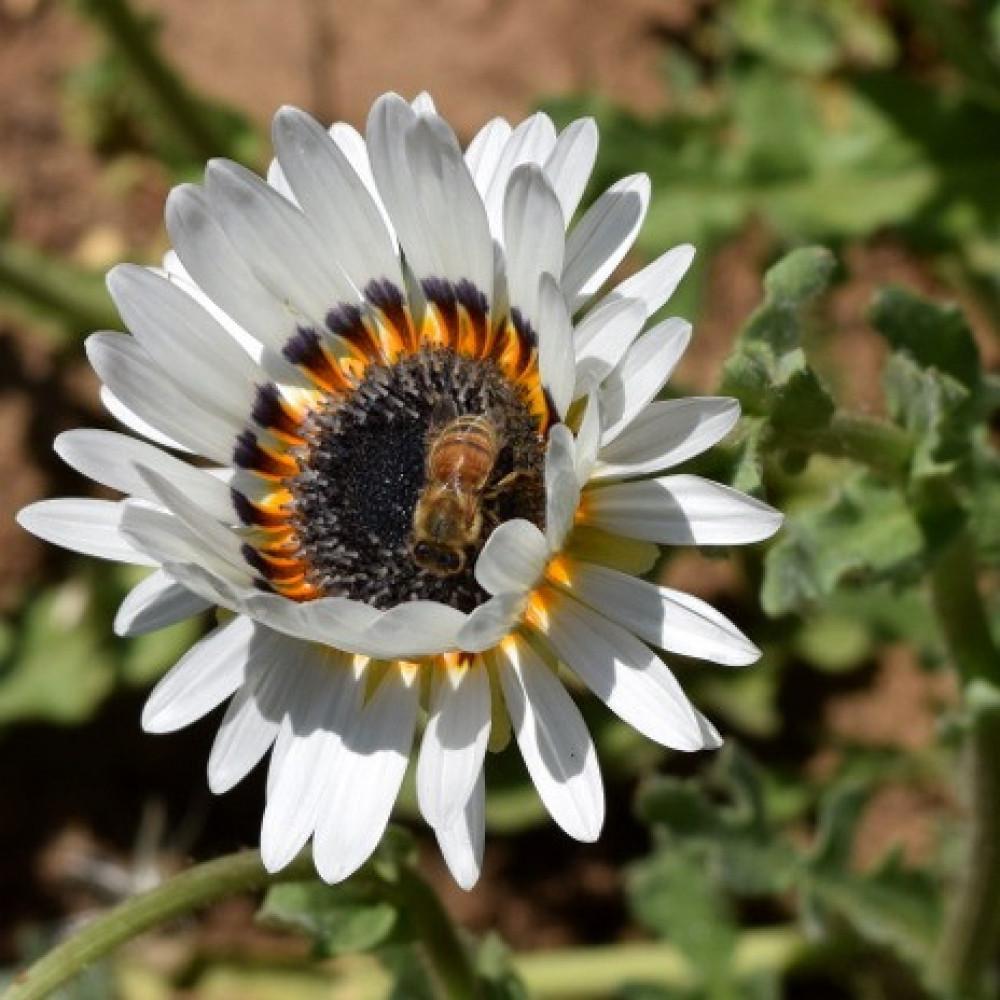 بذور زهرة ملكة الحقل - اركتوتس -Arctotis Fastuosa