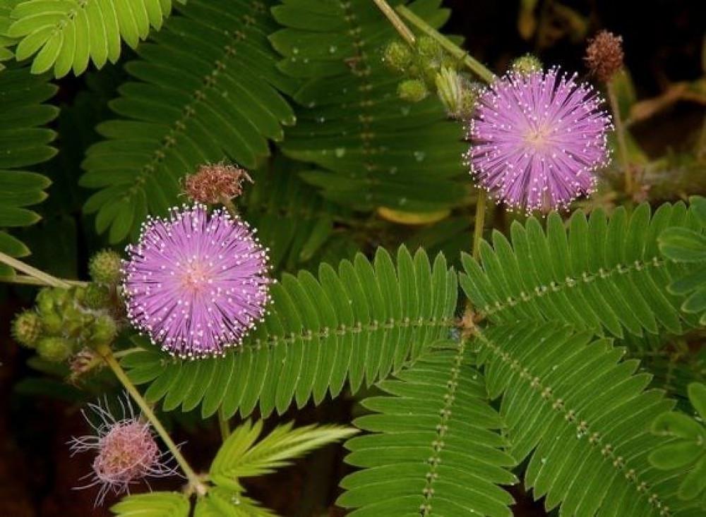 ميموسا بوديكا  الخجولة - Mimosa Pudica