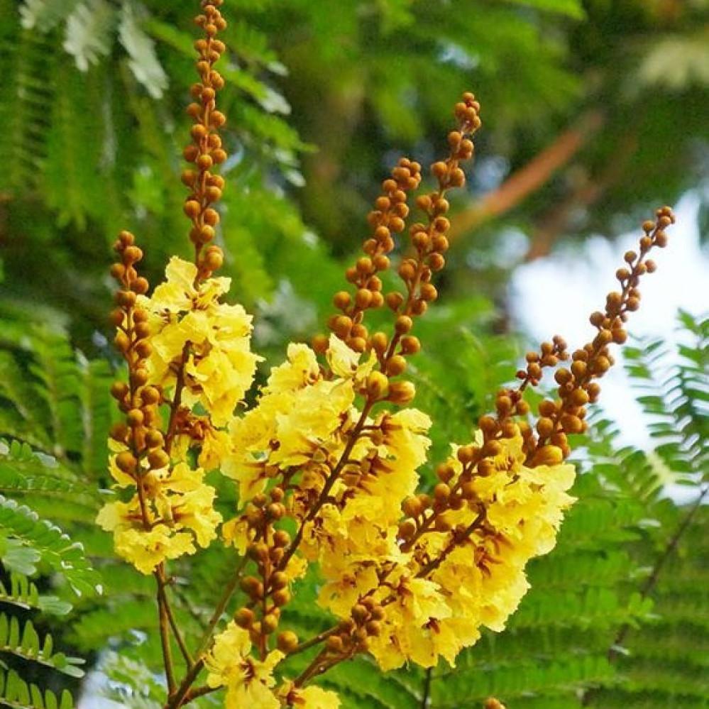 زهرة بذور بونسيانا صفراء - بلتفورم - Peltophorum pterocarpum