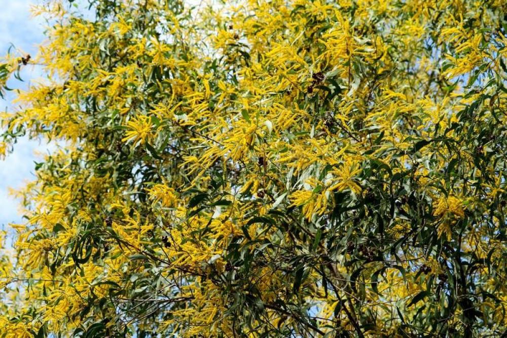 طلح الاوريكوليفورميس - Acacia Auriculiformis