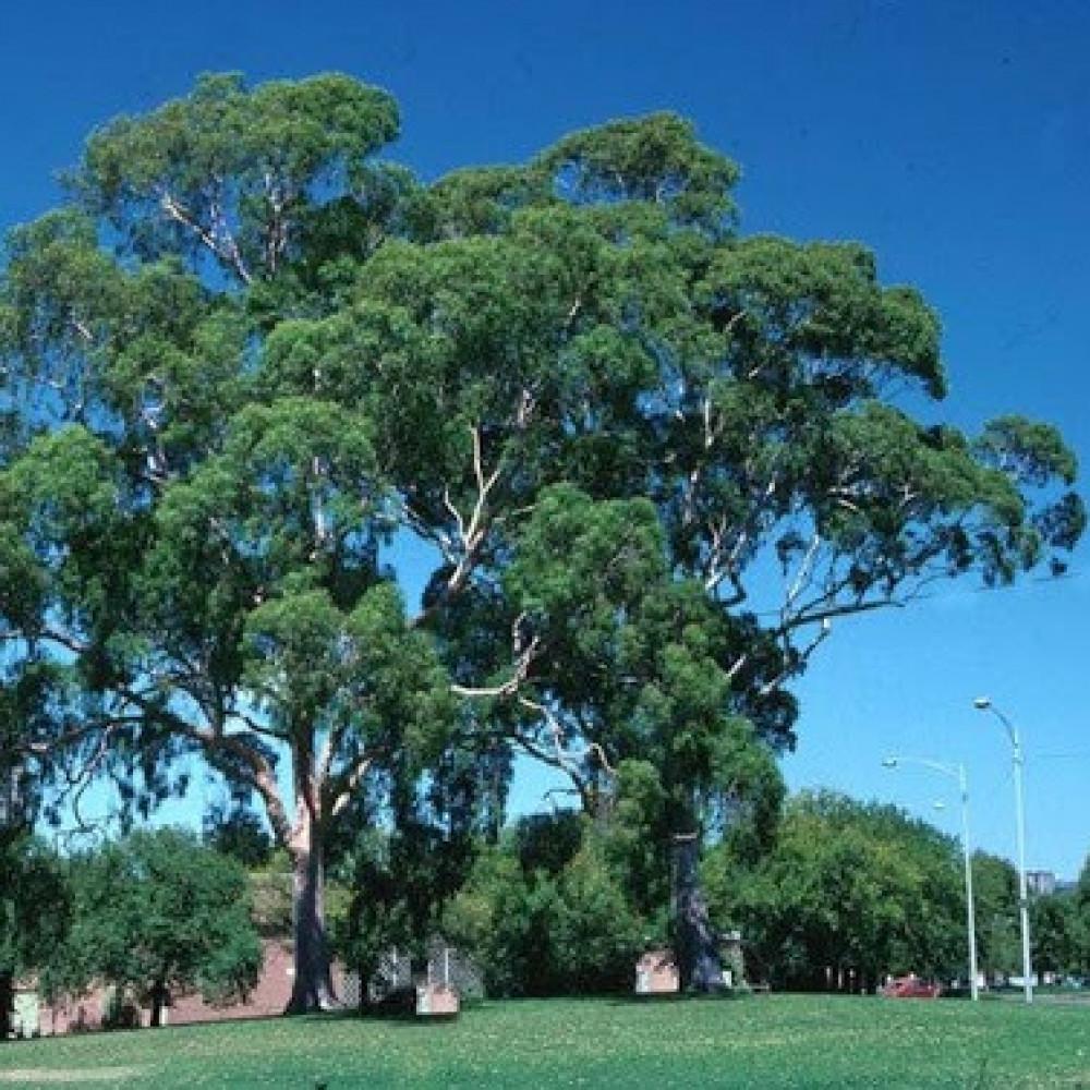 شجرة كافور ليموني كين الأوكالبتوس - Eucalyptus Citriodora