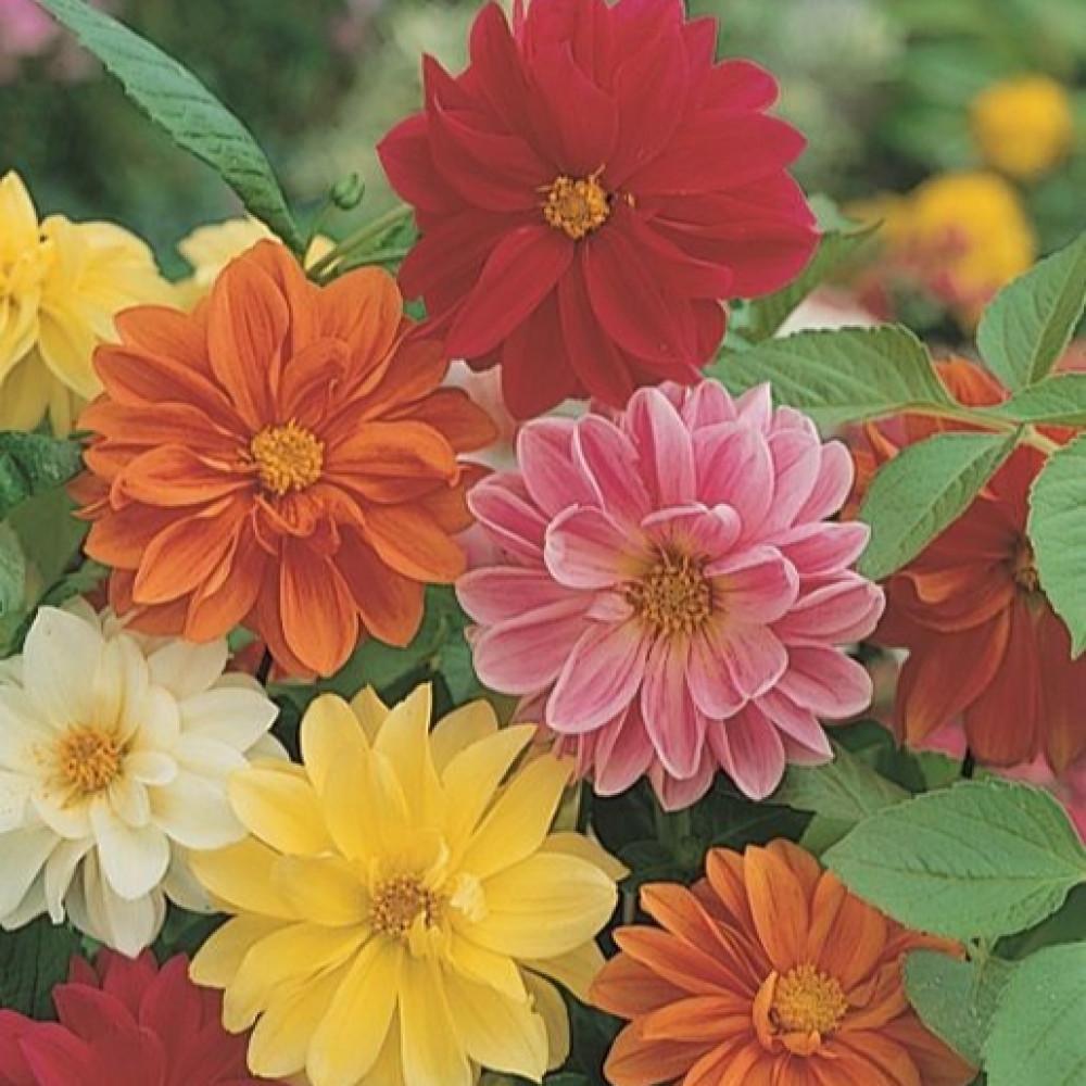 بذور زهور داليا  مكس Dahila Variabilis