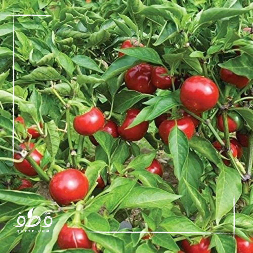 بذور الفلفل الكرزي  Cherry pepper
