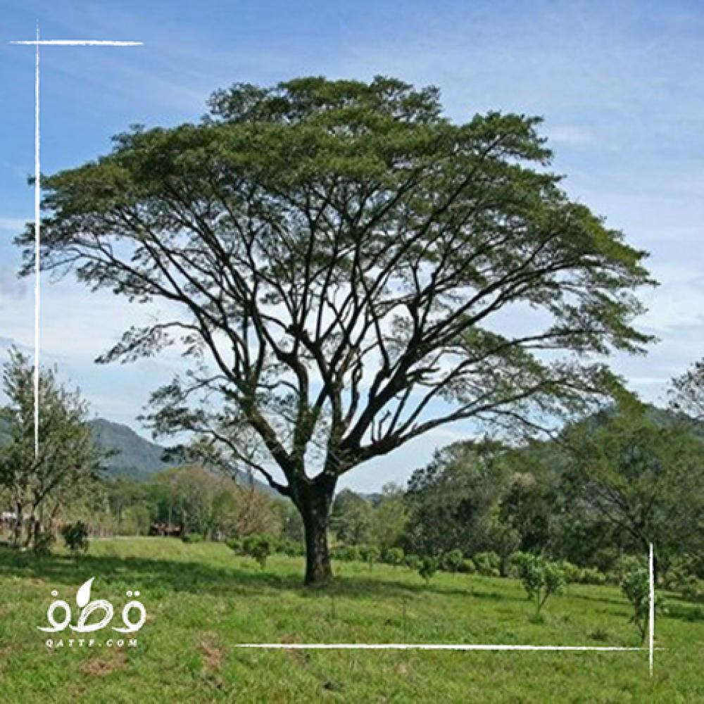 شجرة انترلوبيوم  - Enterolobium