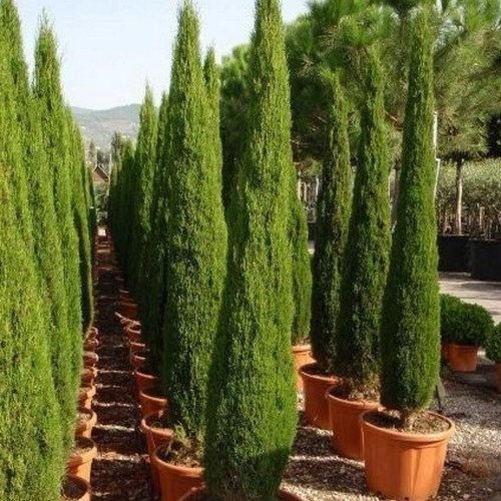 شجرة السرو - Cupressus