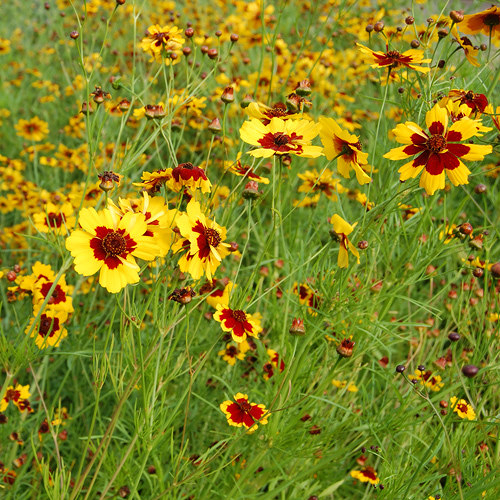 زهرة كوريوبسس الذهبية