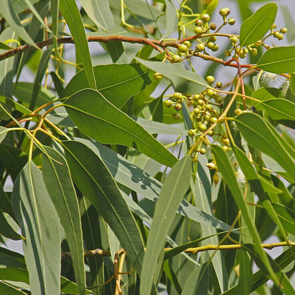 بذور كافور ليموني كين الأوكالبتوس - Eucalyptus Citriodora