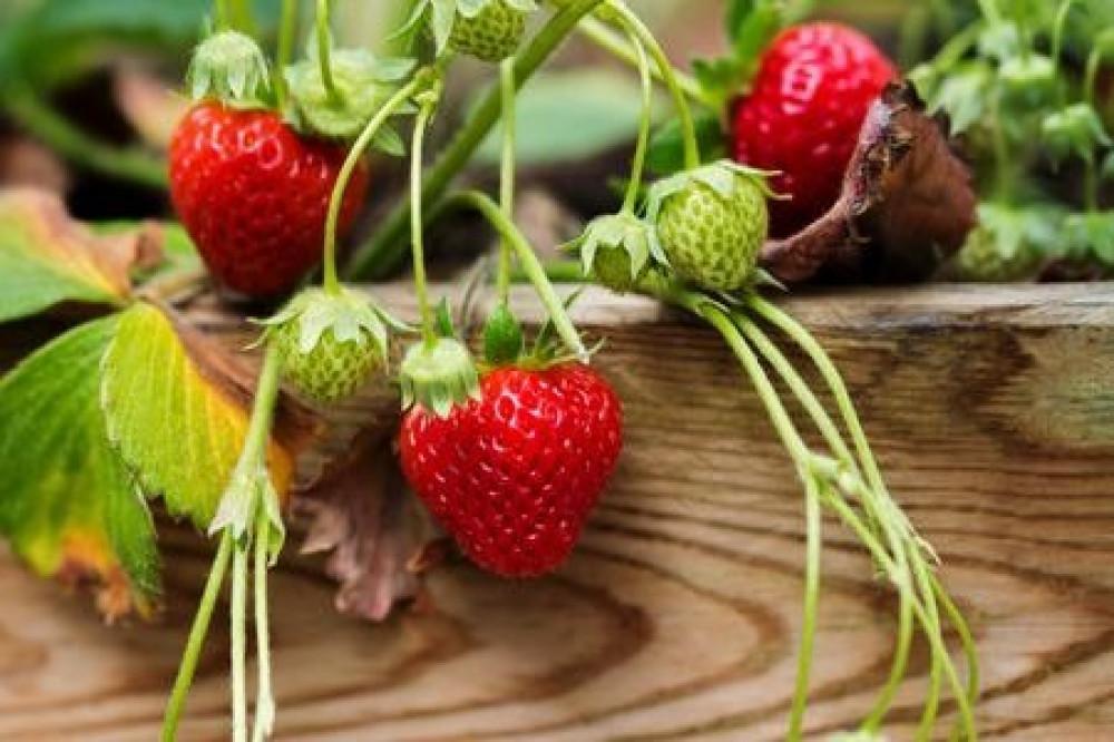بذور الفراولة -  Fragaria  - ananassa