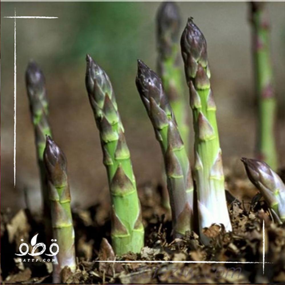 نبتة الهليون - Asparagus officinalis