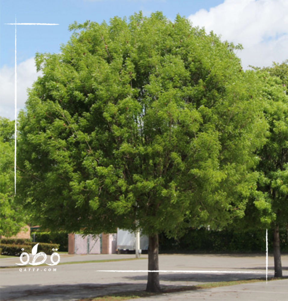 شجرة ماهوجنى الافريقي - Swietenia mahagoni
