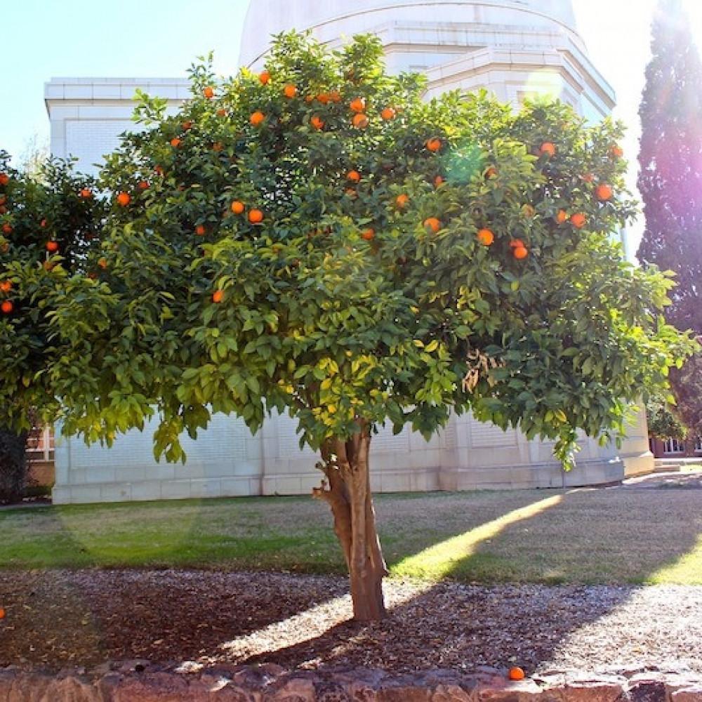 شجرة النارنج أصل الحمضيات - Citrus Aurantium