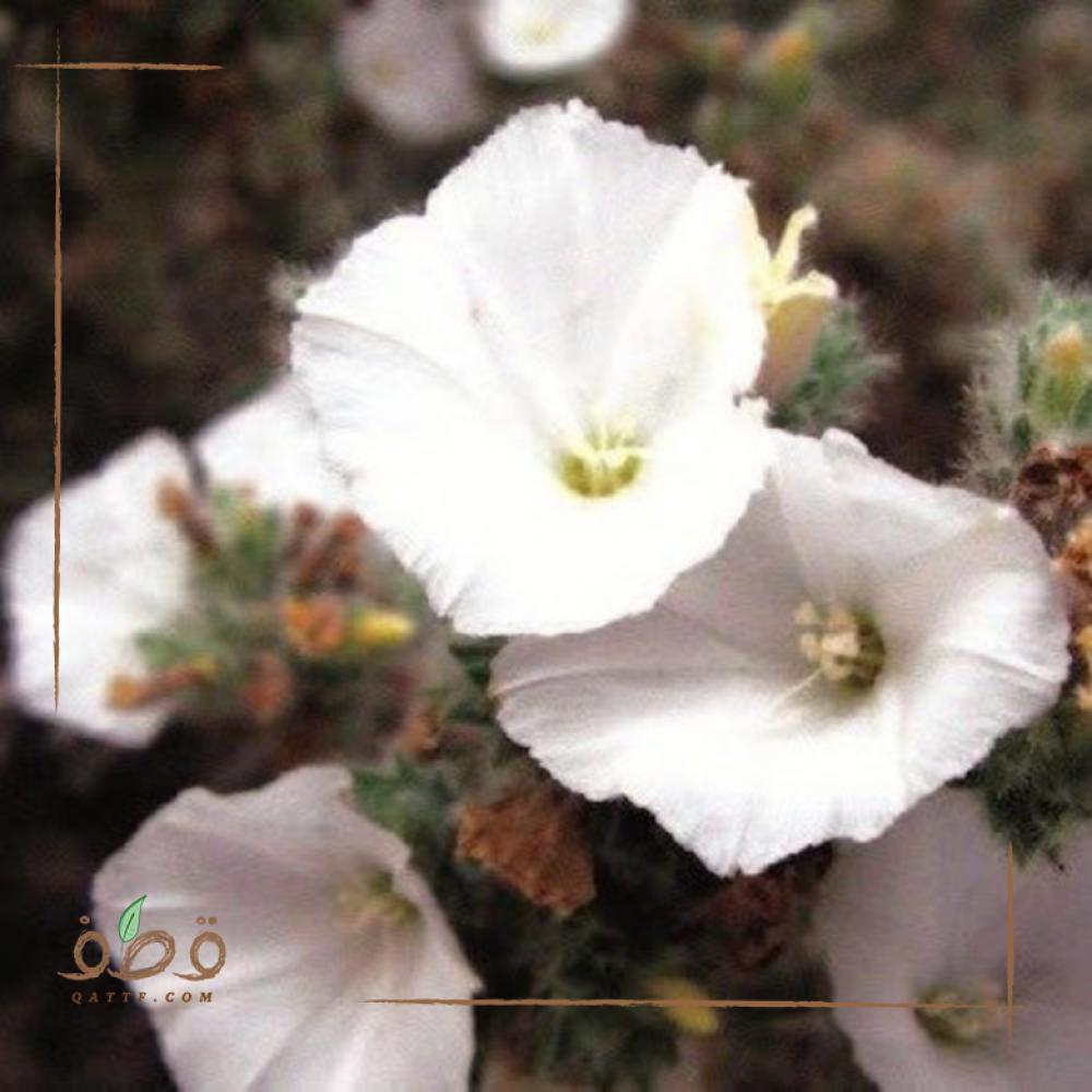 بذور نبات الرخامي الموسمي