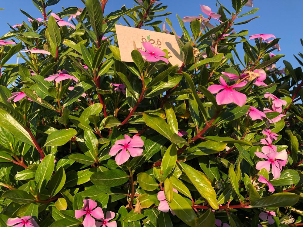 زهرة البفتة  فينكا - Catharanthus Roseus