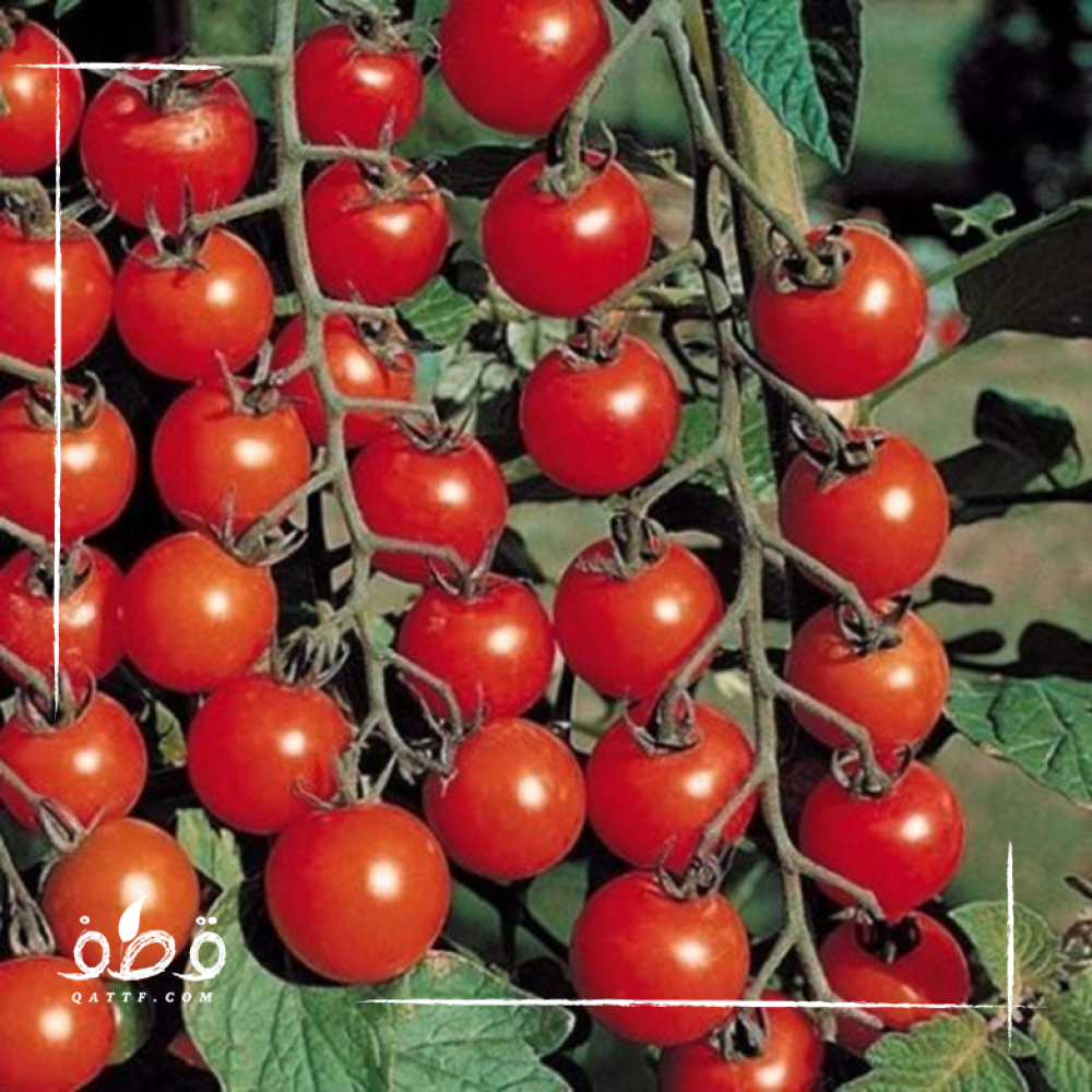 طماطم كرزي شيري أحمر