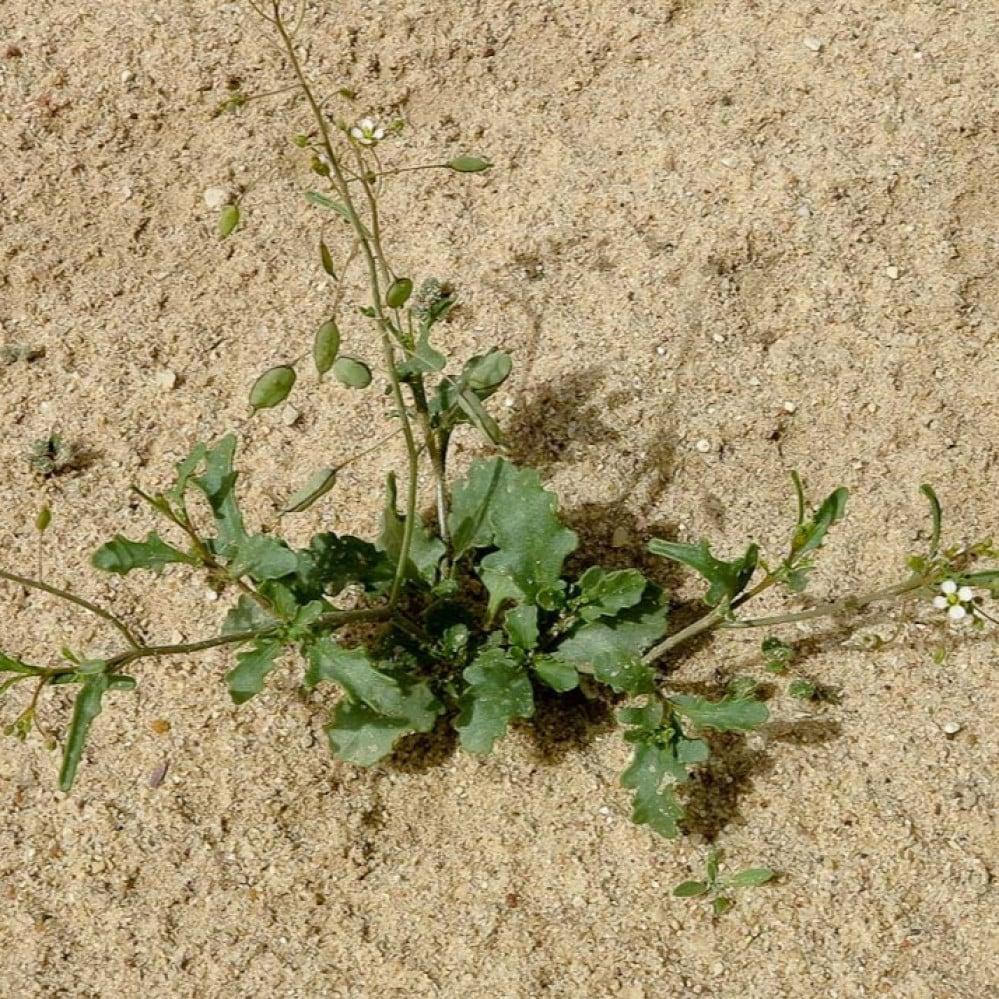بذور عشبة القليقلان - Savignya parviflora