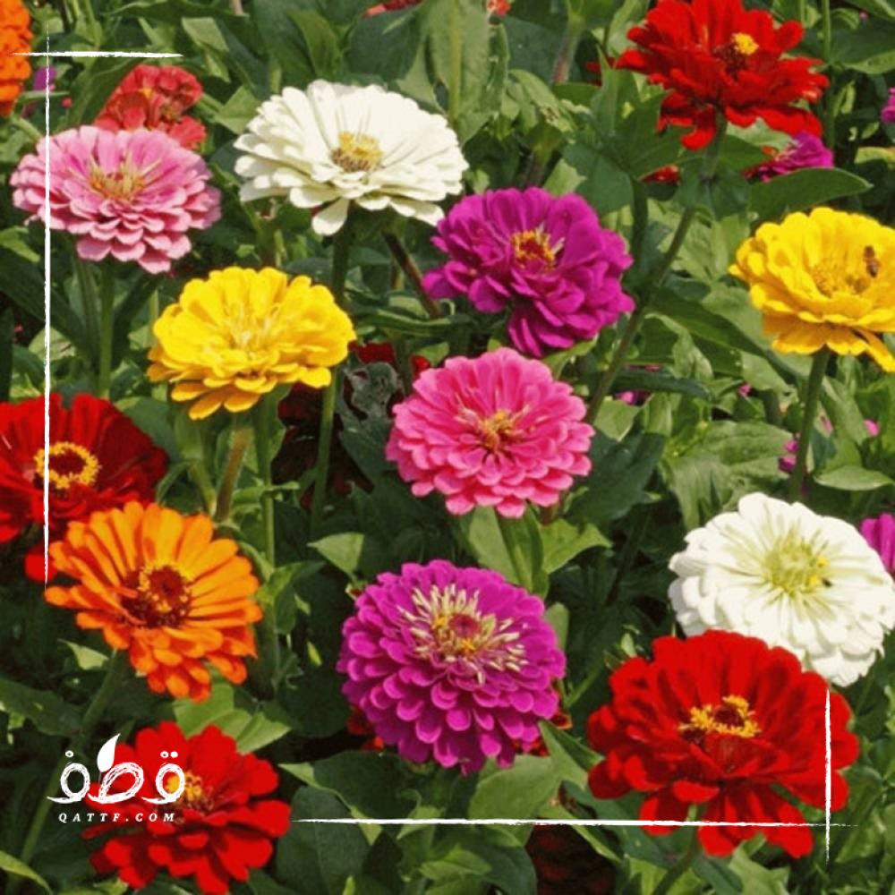 زهرة الزينيا متعددة الالوان  Zinnia Elegans-Mix
