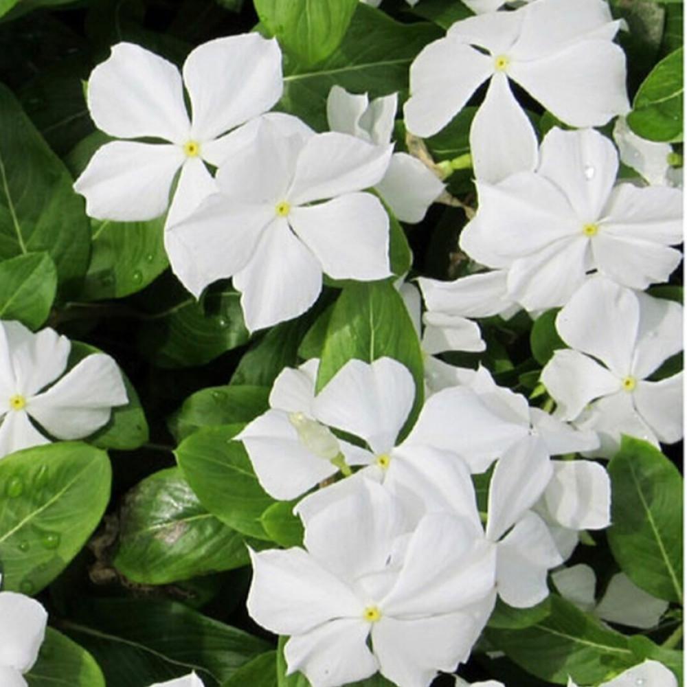 Vinca roses blanche
