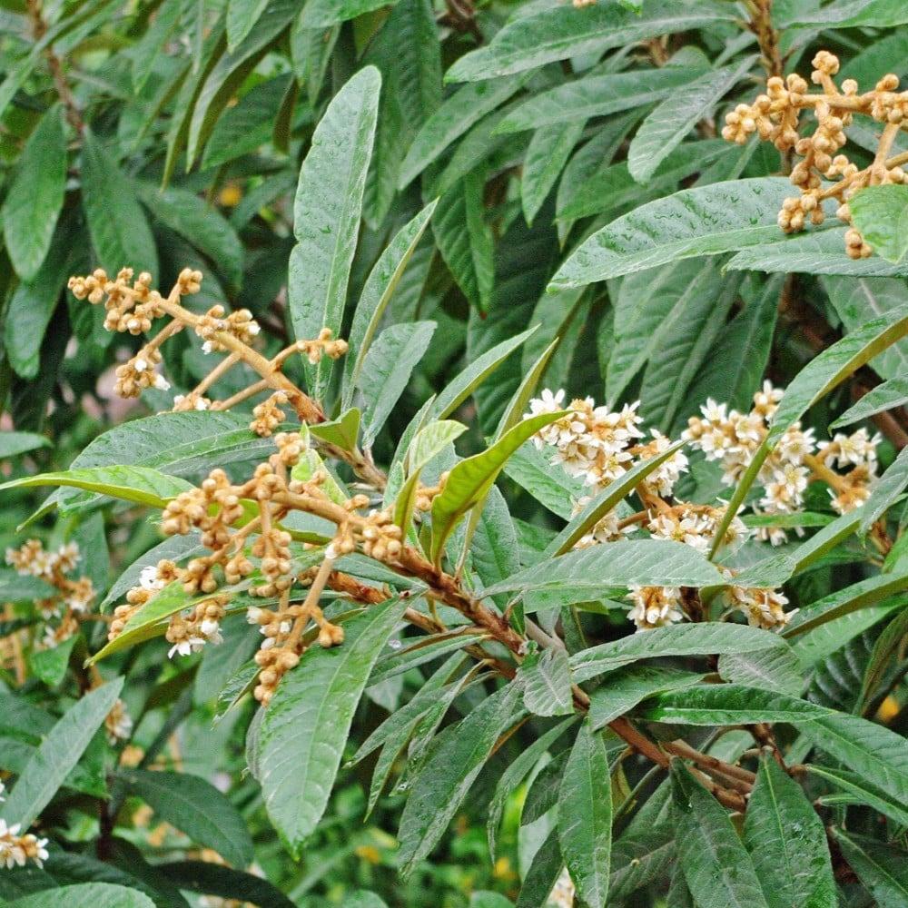 ورقة فاكهة البشملة   اسكدنيا  Eriobotrya