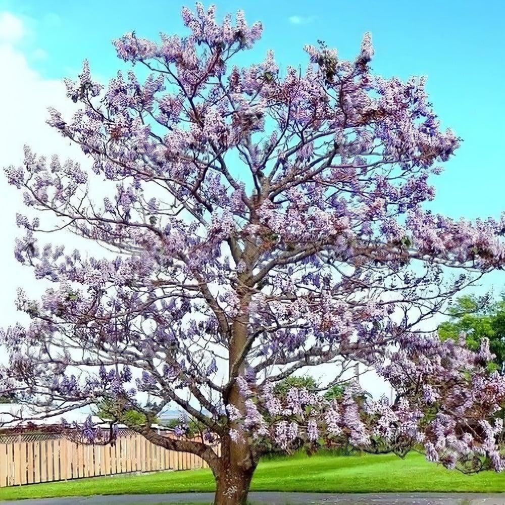 شجرة الاميرة  الباولونيا - Paulownia
