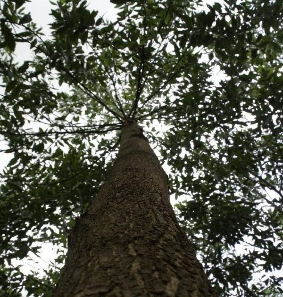 شجرة اكاسيا مانقيوم - Acacia Mangium