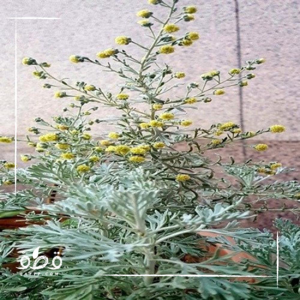 بذور عشبة البعيثران موسمي  - Artemisia Judaica