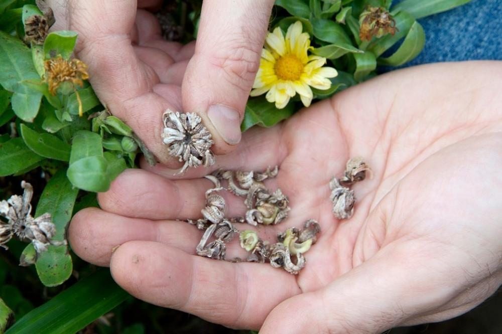 بذور اقحوان كلانديولا - Calendula Officinalis