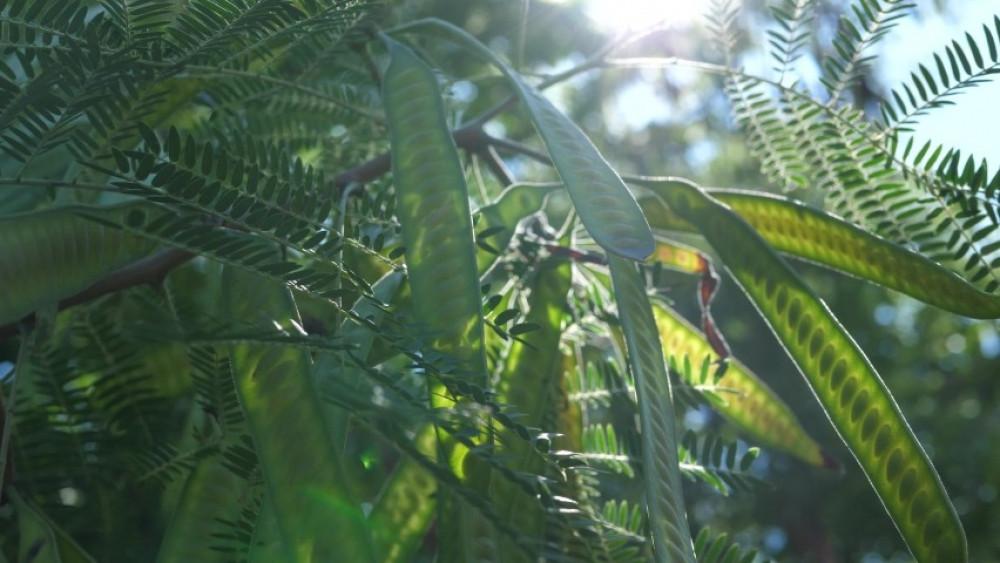 بذور أكاسيا ليوسينا أو السيسبان - Leucaena leucocephala