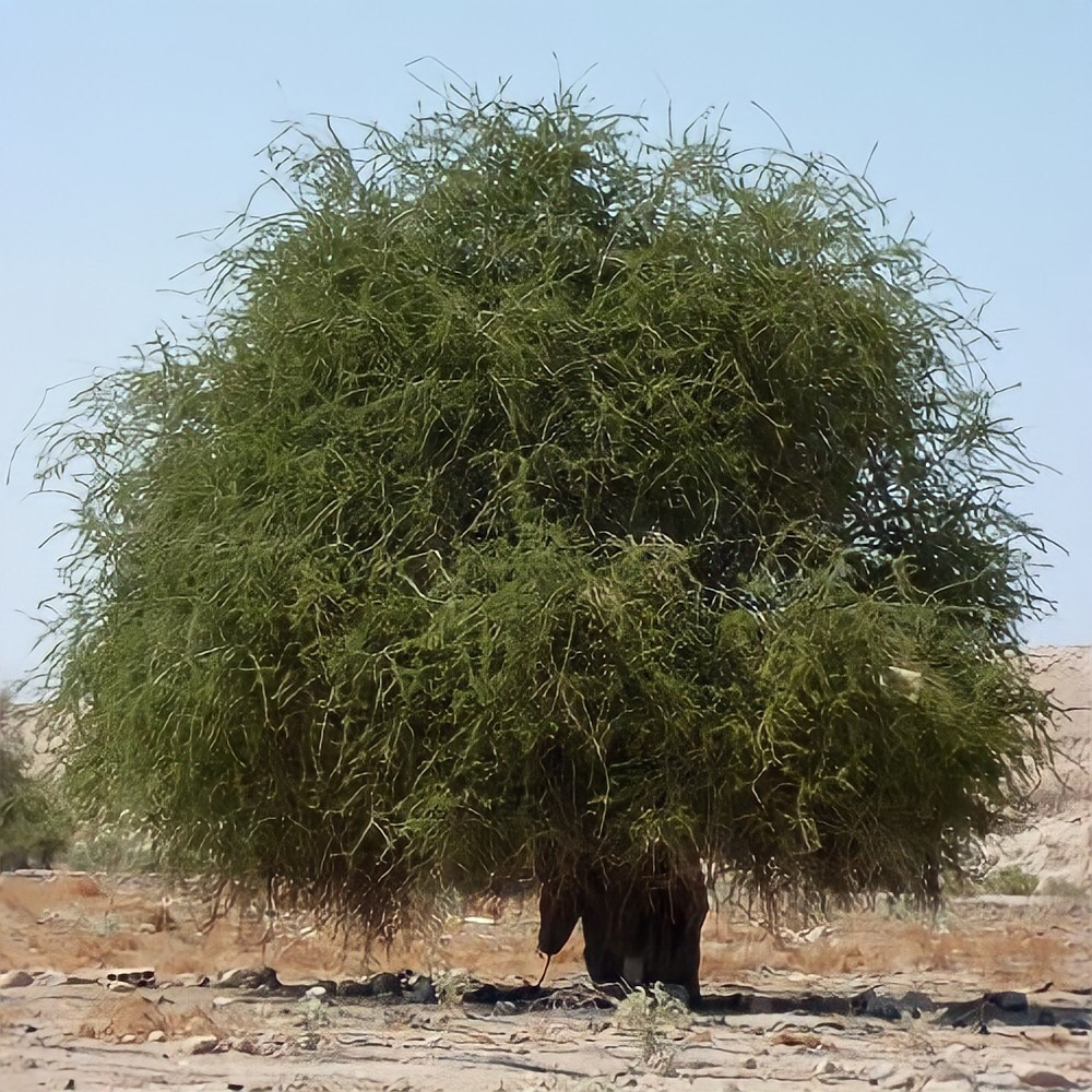 بذور شجرة السرح - Maerua Crassifoliga