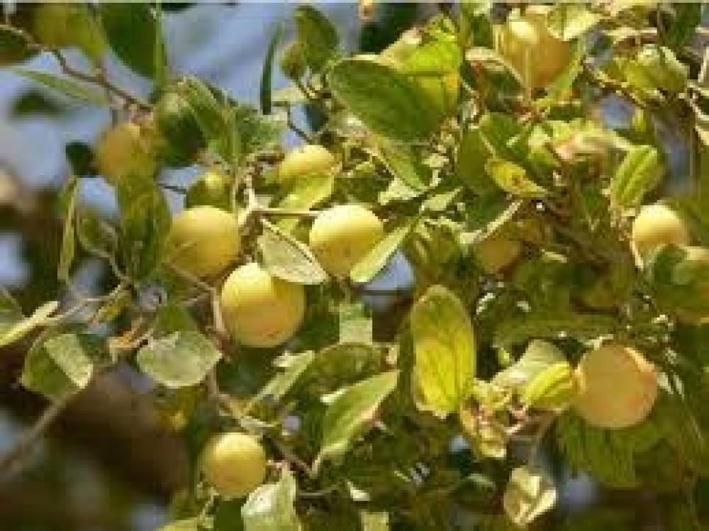 بذور السدر البري النبق  Rhamnus spina-christi