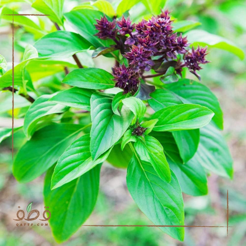 بذور الريحان - Ocimum basilicum